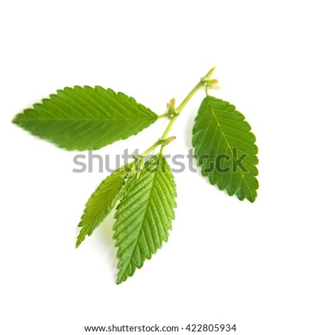 Green elm leaves isolated on white background