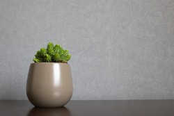 Green euphorbia susannae succulent plant growing in ceramic vase isolated on clean background placed off-center on shelf. Minimalist setting in sober earth tones with empty space for text on the right