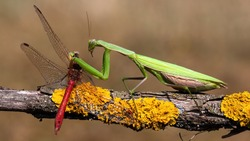 Green european mantis, mantis religiosa, feeding on red dragonfly in summer nature. Predator insect hunting on branch. Wild animal in natural environment.