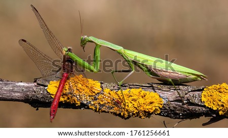 Green european mantis, mantis religiosa, feeding on red dragonfly in summernature. Predator insect hunting on branch. Wild animal in natural environment. Photo stock ©