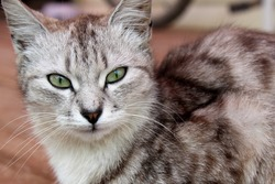 green-eyed gray cat sits and looks with cunning eyes