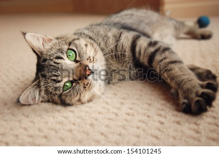 Green eyed kitten relaxing on cream carpet
