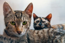 Green-eyed pussycat looks at camera. Colored cat lies next to tabby cat. Two pets on white background. Domestic animals are resting.