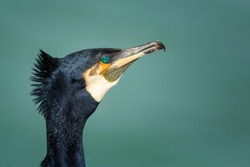 Green eyes, Great cormorant (Phalacrocorax carbo), known as the great black cormorant throughout the Northern hemisphere,