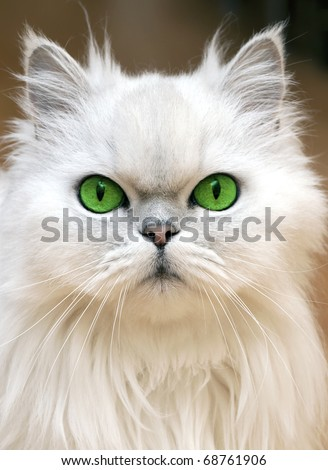 Green Eyes of a persian cat