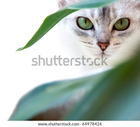Green eyes of the Abyssinian cat sitting in a greenery