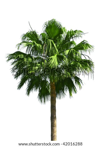 Green fan palm tree isolated on white background - stock photo