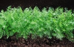 green fennel grows on soil
