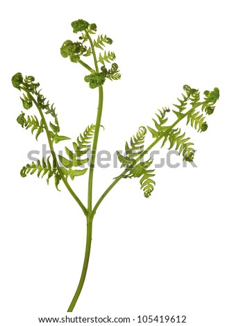 green fern branch isolated on white background - stock photo