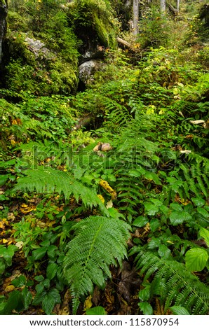 Green fern in a mountain forest of the enchanted forest nearby Ramsau