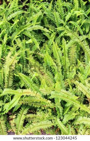 Green fern in garden as a background