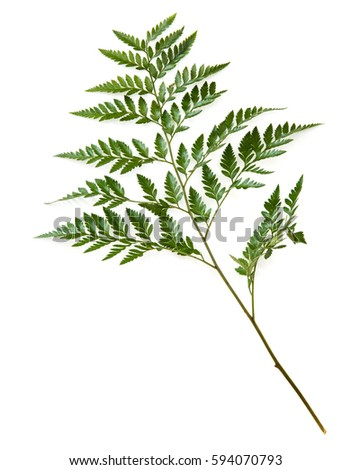 Green fern leaf isolated on white background #594070793