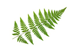 Green fern leaf on a white background, isolate. Natural dry leaf of the plant, ornament.
