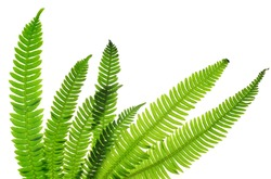 Green fern leaves ( Blechnum spicant ) isolated on white background.