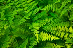 Green fern leaves in tropical forest, natural background, selective focus. Fresh fern close-up nature photo.