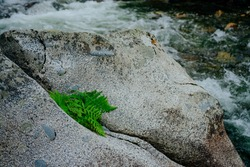 Green fern leaves on big stone in mountain creek close-up. Scenic nature background with fern leaf on boulder in mountain brook closeup. Vivid natural backdrop with plant on rock in green water stream