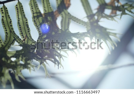 Green fern leaves (Polypodium polycarpon) isolated on effects of Lens Flare, Glare, sunspot, background. Fern Spores, probably a tree fern leaf close-up. #1116663497