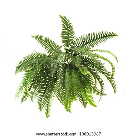 Green fern on white background