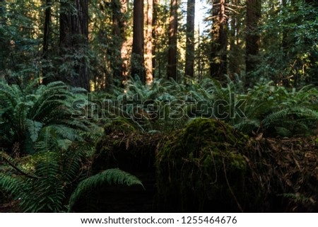 Green ferns among the trees on Avenue of the Giants, California, USA. #1255464676
