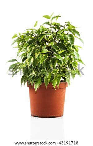 Green ficus tree in a brown pot. Isolated on white