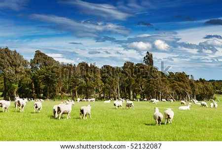 Green field and grazing sheep