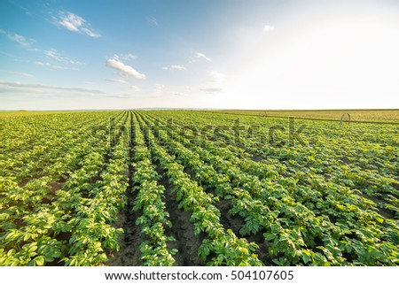 Green field of potato crops in a row #504107605