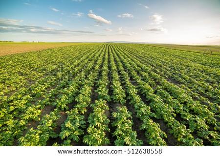 Green field of potato crops in a row
