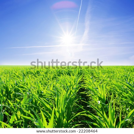 green field of young corn and sunny sky
