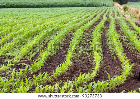 Green  field of young corn in the spring