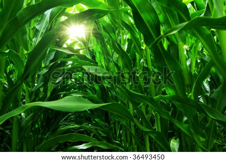 Green field of young corn under the sunlight