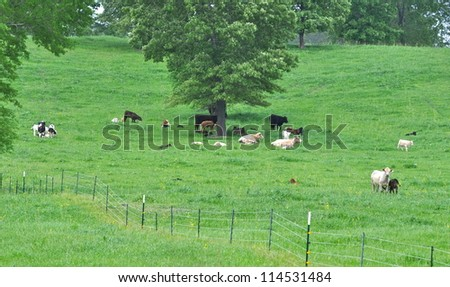 Green Field with Resting Cattle