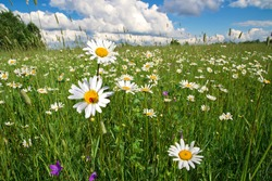 Green field with white daisies in a rural place. Wild meadow. Field flowers. A clear summer day. Blue sky with white clouds. Blurred background.