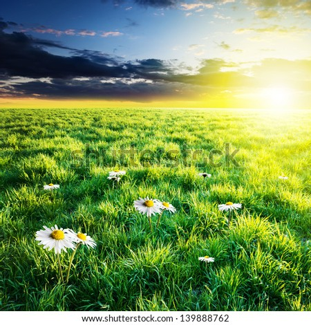 Green field with whitw flowers under sunset sky. Beauty nature background