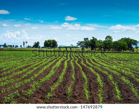 Green field with young corn with blue sky
