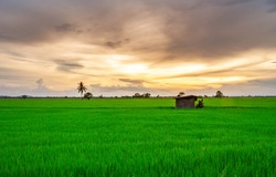 Green fields and hut in the rice paddy field In the twilight the sky is golden.