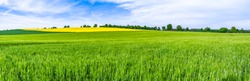 Green fields and sky. Grass field panorama, farmland landscape or wheat crop