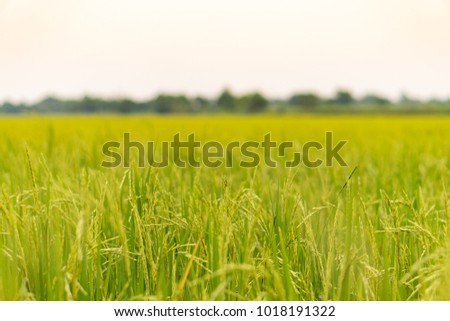 Green fields with rice plants. #1018191322
