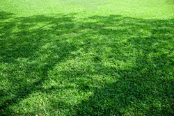 Green fields with shade of trees. The leaves fall from the tree on the green grass and the shadow on the tree on the green lawn.