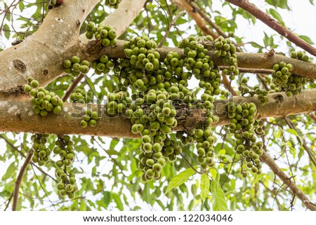 Green Fig fruit on  tree  in Thailand