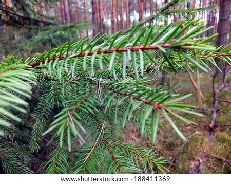 Green filed spruce needles of the forest as a background
