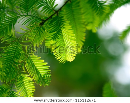 Green fir branch in the forest