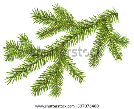 Green fir branch with short needles. Isolated on white illustration #537076480