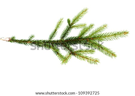 green fir tree branch on the white