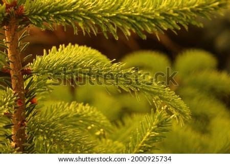 Green fir tree in spring Zdjęcia stock ©