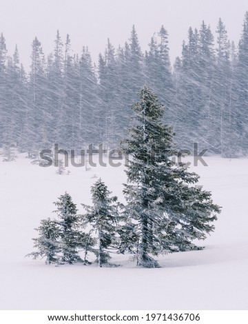 Green fir trees in a snowfield Stock photo ©