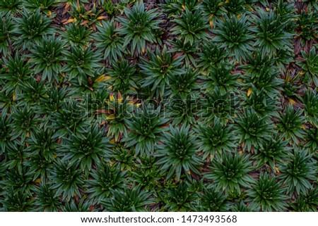Green flora texture. Las Cajas national park, Cuenca, Ecuador