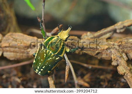 Green flower beetle (Chelorrhina polyphemus confluens) in terrarium. Flower chafer, scarab. #399204712