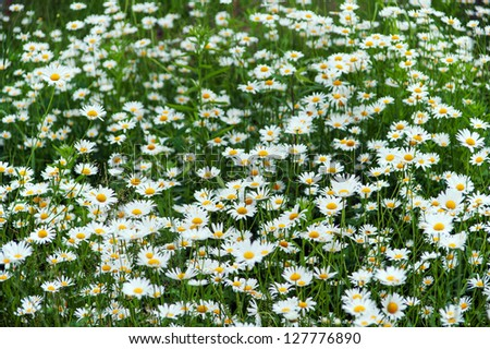green flowering meadow with white daisies