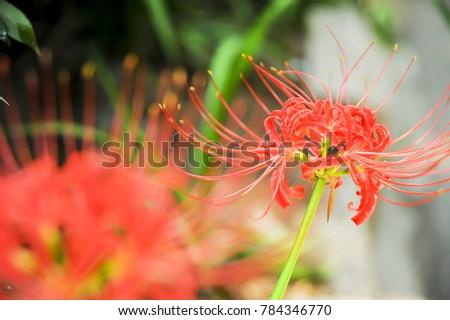 Green flowers safflower Lycoris #784346770