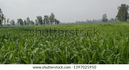 Green fodder crops (Sorghum) for cattle feed in the field.  #1397025950